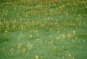 Weeds poking up in the lawn can be controlled with selective herbicides.