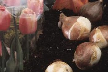 Tulip bulbs form roots during winter cold storage.