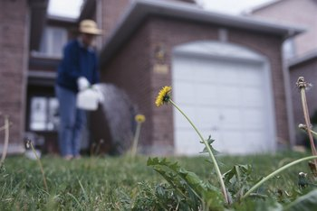 Weeds need to be effectively controlled to avoid a lawn takeover.