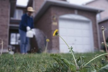 Remove single weeds that emerge from the lawn by hand-pulling them.
