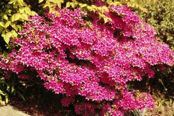 Dwarf rhododendrons add color and texture to a miniature forest.