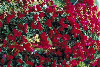 Rose bushes grow vigorously when planted and cared for properly.