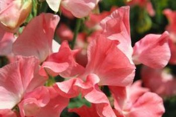 Fragrant sweet peas come in attractive colors, including solid, mixed and bi-colored flowers.