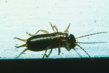 Earwigs generally don't attack humans, but may bite if stepped on.