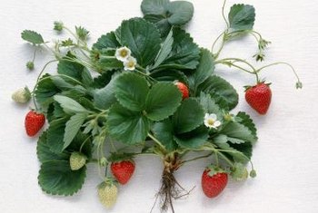 Strawberry plants clone themselves by creating new baby plants.