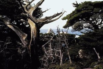 Cypress trees can thrive for 150 years or more.