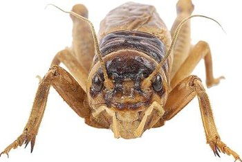 Potato bugs are in the same genera as crickets and grasshoppers.