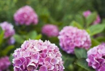 Hydrangeas produce large flowers near the top of the shrub.