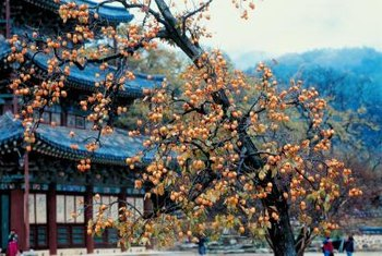 Asian persimmon trees produce a flavorful orange fruit.