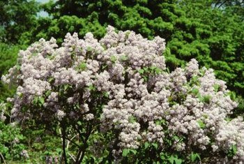 Lilacs bloom best in full sun.