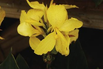 Known for their impressive foliage, the canna flower is another great asset.