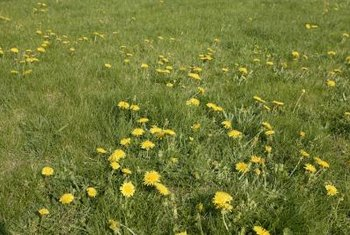Dandelions are one type of pervasive weed that can be killed with salt.
