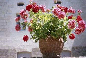 Caring for geraniums is simple whether they're in the ground or containers.