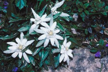 Edelweiss flowers brighten up a path or garden bed.