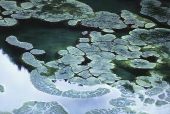 Algae are unattractive and can kill pond plants and fish.