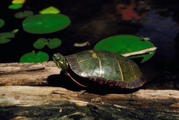 Your pet turtle will love his new pond.