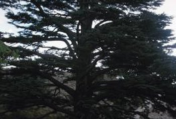 The Southern red cedar can be grown in warmer climates