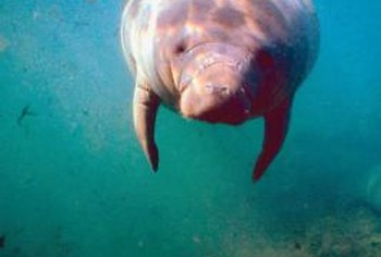 "Nicknamed ""sea cows,"" manatees are distant relatives of elephants."