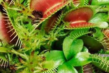 A Venus flytrap needs different temperatures during dormancy.