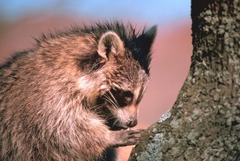 Raccoons are among the mammalian pests supposedly deterred by mothballs.