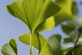 The ginkgo is a deciduous gymnosperm, more closely related to the pine than an oak tree.