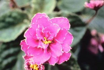 Fertilize and water African violets the easy way in self-watering pots.