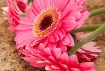 Gerbera and Shasta daisies belong to the same plant family