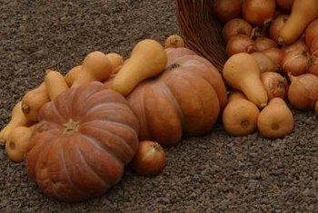 Pumpkins and butternut squashes are among the most resistant to squash vine borers.