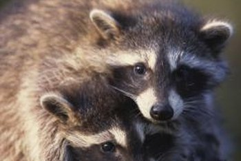 Raccoons are omnivorous, eating both animal and plant foods.