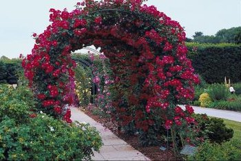 Plant one large climbing rose or multiple smaller climbers to cover large arbors.