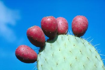 The prickly pear cactus produces juicy, sweet fruit.