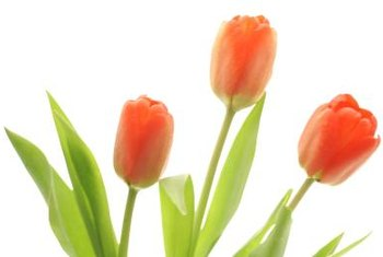 Transplanting at the wrong time can damage tulips.