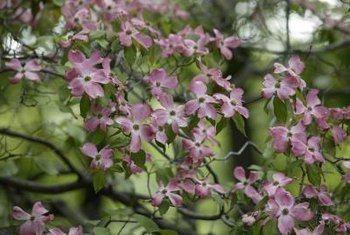Pink dogwoods provide aesthetic appeal all year long when properly pruned.