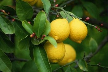 Even potted lemons can bear plenty of fresh, yellow fruit.