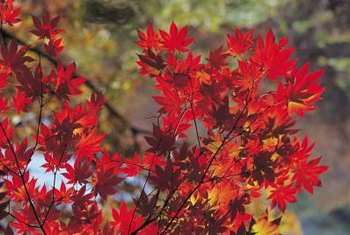 Early maple color results from climate patterns, stress, or disease.