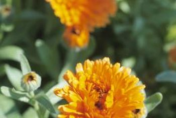 Marigolds are a relatively easy-to-care-for plant if they are given the proper growing conditions.