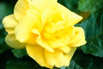 Both hybrid tea and floribunda roses come in a variety of colors and fragrances.