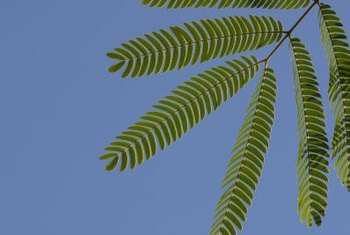 The fine leaflets of sensitive plant fold together temporarily when touched.