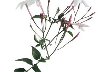 The fragrance of jasmine flowers is used for candles or body sprays.