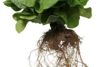 Many of the lettuces available in supermarkets are grown by hydroponic methods.