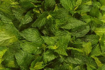 Peppermint produces bright-green leaves.