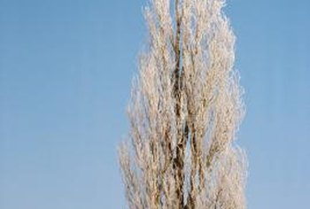 Poplars have shallow roots and can topple in heavy winds.