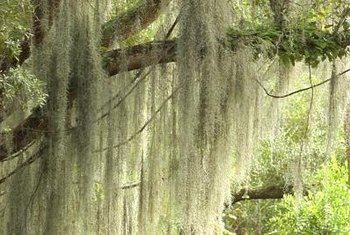 Spanish moss doesn't deliberately kill trees, but it can weigh them down.