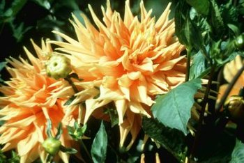 Dahlias continue to bloom until fall digging.