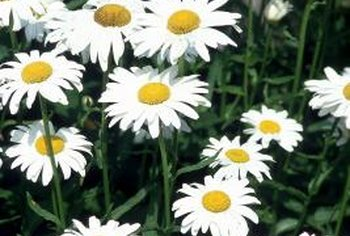 Marguerite daisies are native to the Canary Islands.