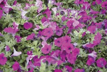 Petunias flower abundantly for many months with basic care.