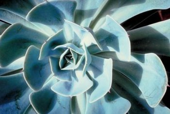 Many varieties of succulents have bluish foliage.