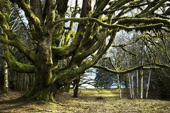 Uncontrolled moss will cover tree branches and trunks.