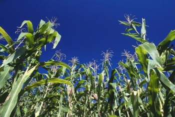 Sweet corn needs proper care to remain green and productive.