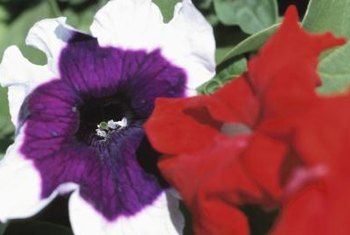 Petunias are susceptible to many pests, including spider mites and caterpillars.